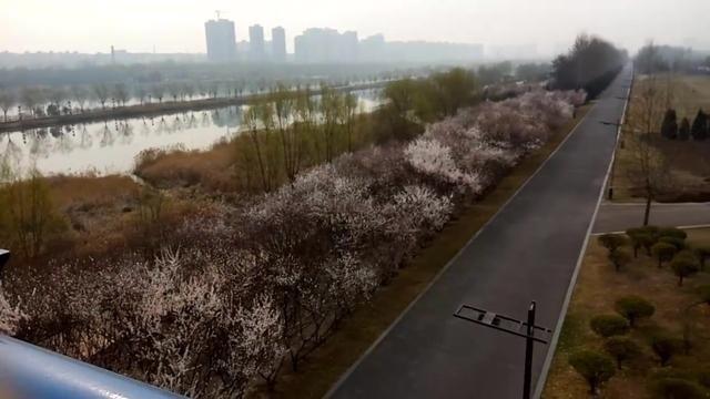 临汾:彩虹桥下梨花开 站在桥上看风景