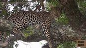 动物世界:豹子树上乘凉,恢复体力继续捕食