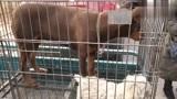 狗市上拍到的巴哥犬和棕色杜宾犬,这两种狗狗长相挺有意思