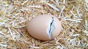 到底是先有的鸡还是先有的蛋!~小鸡出壳辣