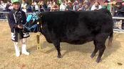 1头牛168万人民币,日本拍出天价松阪牛,看完才明白贵在哪里?