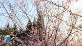 拥抱春天 云端赏景丨桃花始盛开!古城青州春意盎然