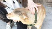 狗狗换毛期,撸一只换毛期的中华田园犬是一种什么体验