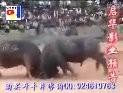 视频:   2005年5月3日中国贵州三棵树移民新村斗牛大赛---启华影业