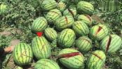 陕西蓝田一瓜农辛苦种的2000个西瓜一夜之间却被人用刀砍伤