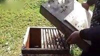 蜜蜂养殖技术-----蜂王