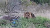 雄狮吃食被打扰 突然冲向围栏吓到游客-娱乐百分百-蓝天传媒