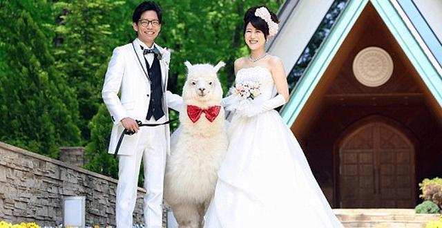 日本酒店推奇葩服务 羊驼为新人证婚