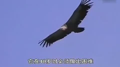 鹰之重生:承受极大的痛苦,是为了更美好的明天