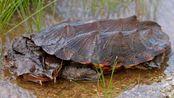 乌龟里最擅长伪装的种类,不比变色龙逊色,看起来就像一片枯叶