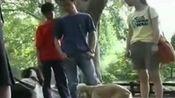 松狮训练 驯养拉布拉多