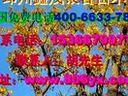 【银杏树苗价格】【银杏苗价格】www.806yx.com