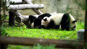 在上海野生的动物园的3只熊猫宝宝,欢乐童年