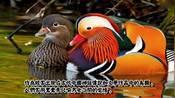 6大象徵爱情的鸟,出双入对的鸳鸯,终生相伴的红嘴相思鸟