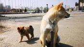 【中华田园犬】震惊,日本小土狗竟然把大黄当妈妈,不断挑衅大黄