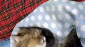 #撒娇猫咪最好命#13歲還像個孩子的老貓