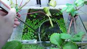 Ep.11 Strawberry Betta Tank (Never Seen Strawberry) No filter, No CO2, NO ferts
