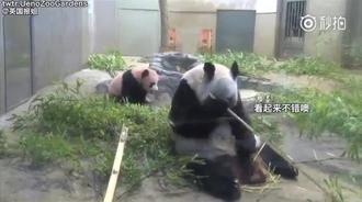 吃货熊猫妈妈,享受美食的时候想起了自己还有个崽