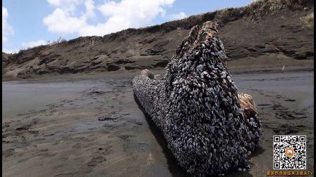新西兰海滩惊现巨型藤壶覆盖体 实为地震后效应