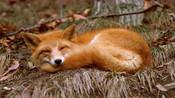 超可爱的赤狐宝宝,长大后成捕猎高手,靠着伪装自己拿下猎物