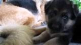 德国牧羊犬幼崽和妈妈玩耍,咬完妈妈的耳朵又尝试咬妈妈的尾巴
