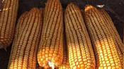 2020年3月4日玉米收购价格,吉林,黑龙江,辽宁内蒙继续强势上涨