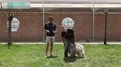 专业训犬 高加索犬训练方法 德国牧羊犬怎样训练