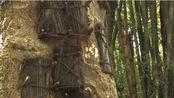 """印尼最""""奇葩""""的树葬,将去世的婴儿葬在树里,就像看到自己的孩子一样!"""