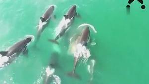 航拍拍下难得一见的场景_虎鲸围捕小须鲸,一击毙命