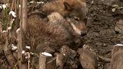 一生的死敌!高加索犬与狼的战争故事