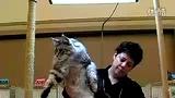 缅因猫在PACE猫展