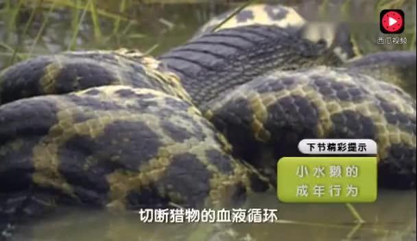 蟒蛇吃鳄鱼,它从来不挑食
