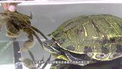 把巴西龟饿上10天,再放进去一只螃蟹,一场恶战在所难免!