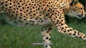 世界飞人博尔特9.58秒的百米纪录,在动物界排第几名?答案出乎意料