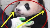 熊猫宝宝妨碍干活被放在角落,居然一动不动等着被抱回原位,没想到竟被遗忘