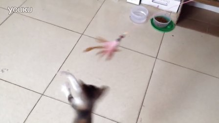 Pao妞日常-来到新家获得了新玩具、(●°u°●) 」