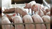 12月3日最新猪价:涨!3天上涨3.08元,专家却让早点卖猪,究竟为何