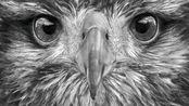 AmBrOJordi用铅笔绘画超写实老鹰