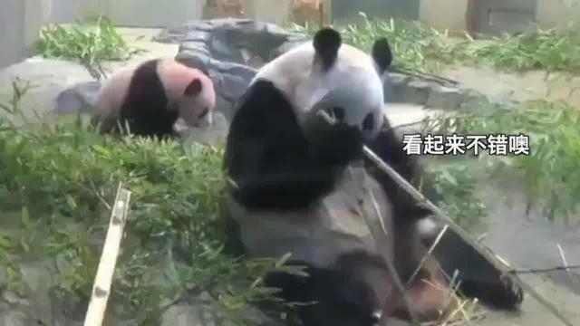 熊猫妈妈,享受美食的时候突然想起了自己还有个娃子