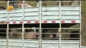 福建多地发生非洲猪瘟, 一厦门牌照货车被拦, 声称在仙游有人对接