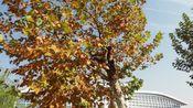 【指弹吉他】午后柠檬树下的阳光