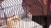 印尼给学生发2000只鸡戒手机瘾:要求必须早晚喂食喂水