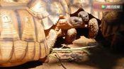 安戈洛卡象龟!很特别的稀有宠物!