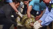 40斤大蟒蛇疑藏天花板十年!警察:将放归大自然