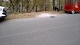 拍到几条惠比特犬和大金毛,农民喜欢养惠比特,这种狗狗会逮兔子