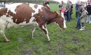 奶牛也疯狂 草原上举办赛跑比赛