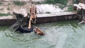 活驴被扔进虎园,两只老虎围过来,场面一度十分惨烈!