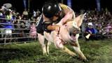 """日本""""骑猪""""大赛,超过3秒奖金50万!都被猪拱得满天飞!"""