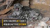 被称为雪山之王的雪豹难得一见的野生幼崽及捕猎野生耗牛的影片