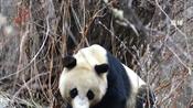 施救 四姑娘山发现野生大熊猫